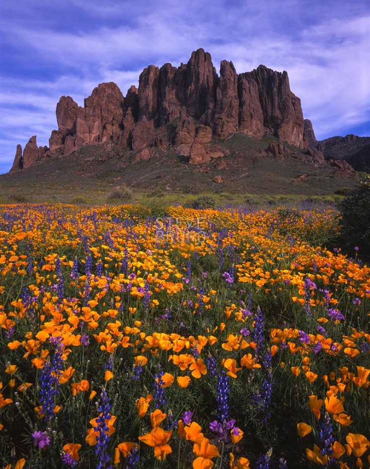 Spring flowers blanket the slopes below Superstition Mountain, Arizona by Steve Bruno