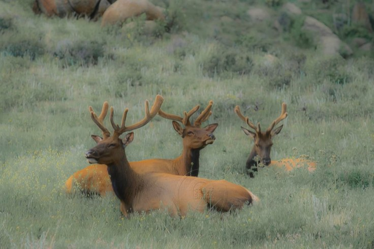 Three Elk-Rocky Mountain Park-Steve Bruno