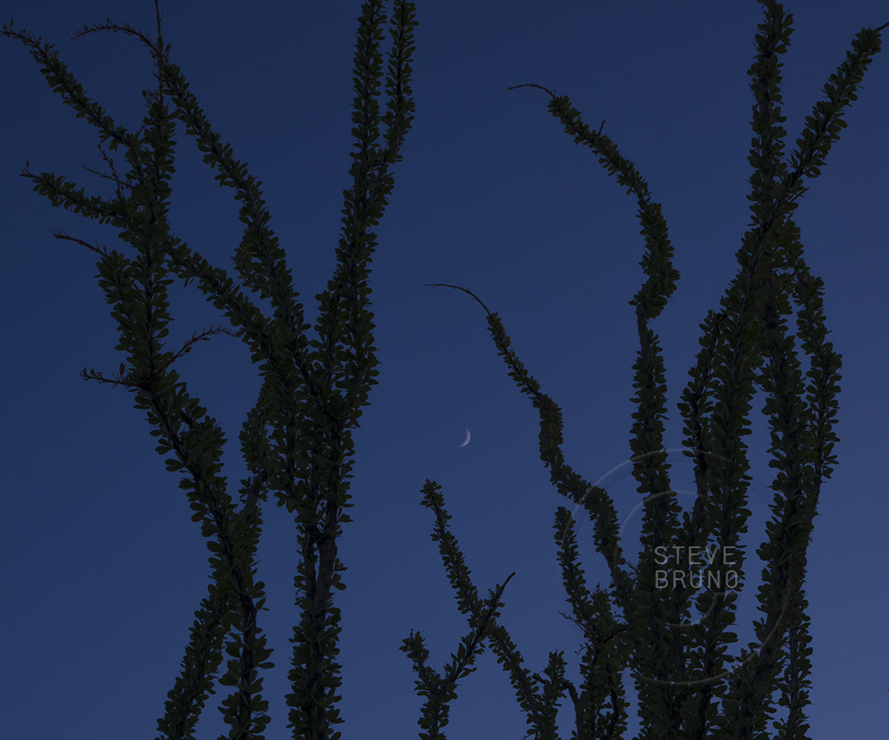Crescent moon in the skies above an ocotillo plant in the Arizona desert by Steve Bruno