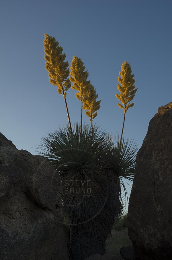 Late season blooms of yucca plants in the Arizona desert by Steve Bruno