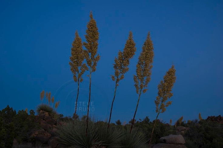 Late season bloom of yucca plants, as twilight approaches, in the Arizona desert by Steve Bruno