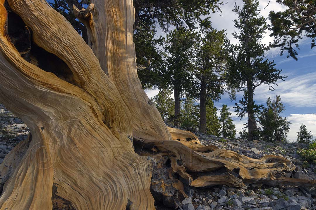 The base of a bristlecone pine tree on Mount Charleston, Nevada by Steve Bruno.