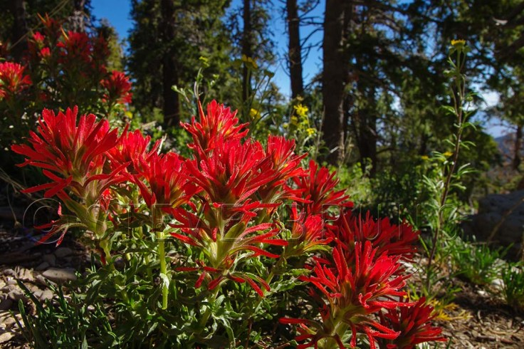 Indian Paintbrush flowers in early summer on Mount Charleston, Nevada by Steve Bruno