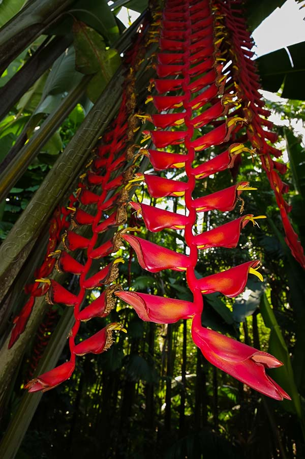 hanging flowers in botanical gardens in Hawaii, photo by Steve Bruno