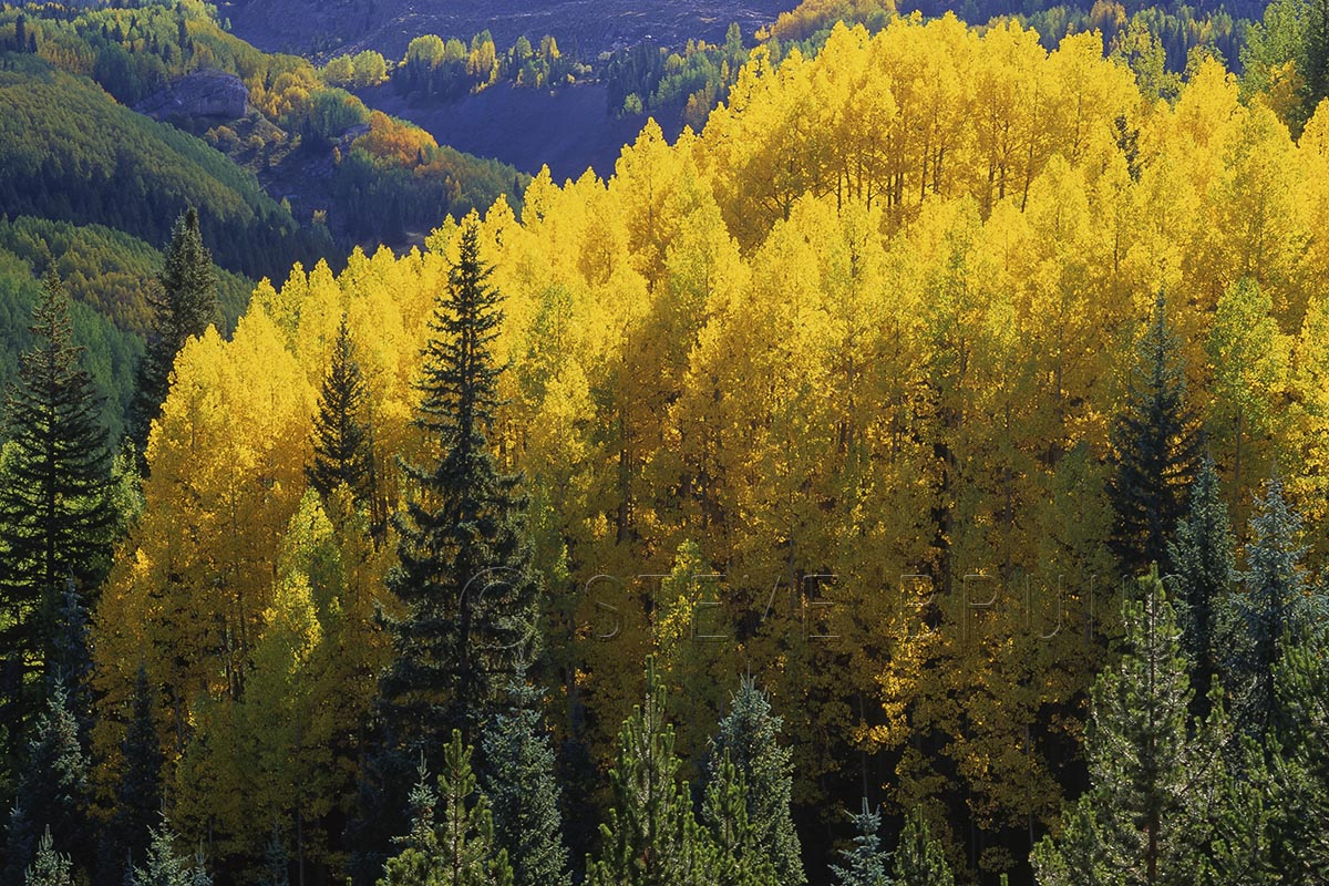 Aspen grove, autumn, southwestern Colorado