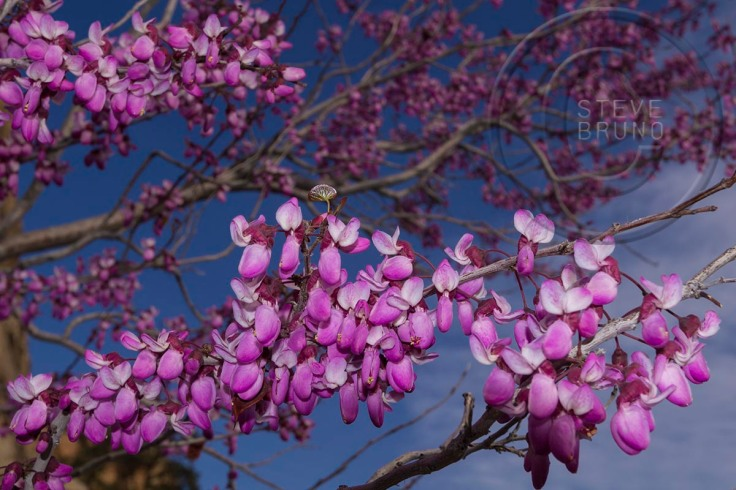 Redbud Tree in spring, Red Rock Canyon, Nevada