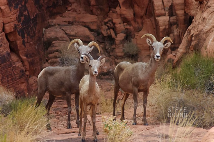 Bighorn Sheep, Valley of Fire State Park, Nevada
