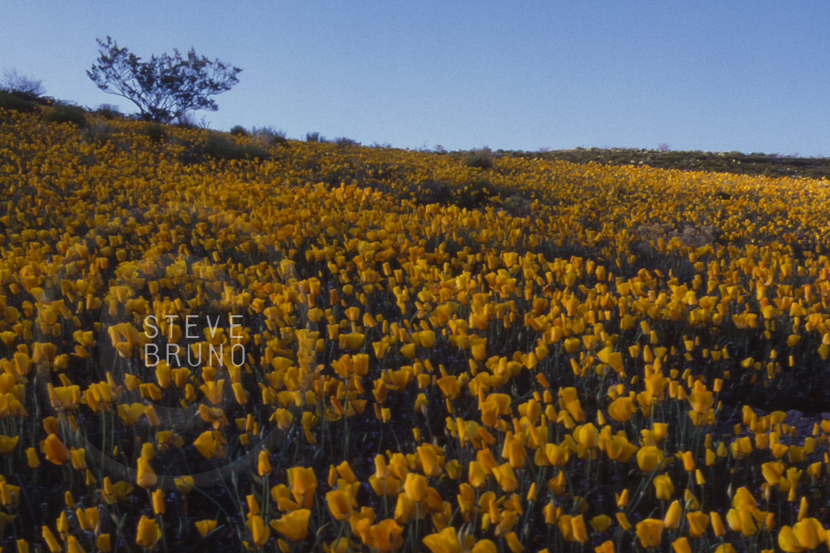 Spring poppies cover desert, southeastern Arizona