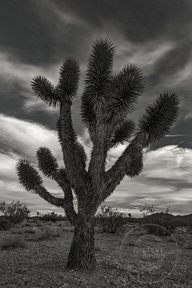 Joshua Tree, Mojave Desert, Nevada