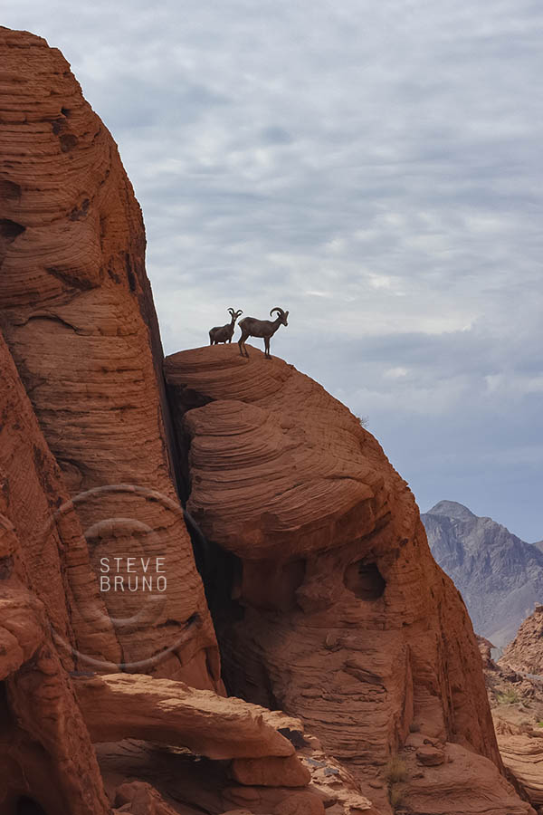 Bighorn Sheep in Valley of Fire State Park, Nevada by Steve Bruno