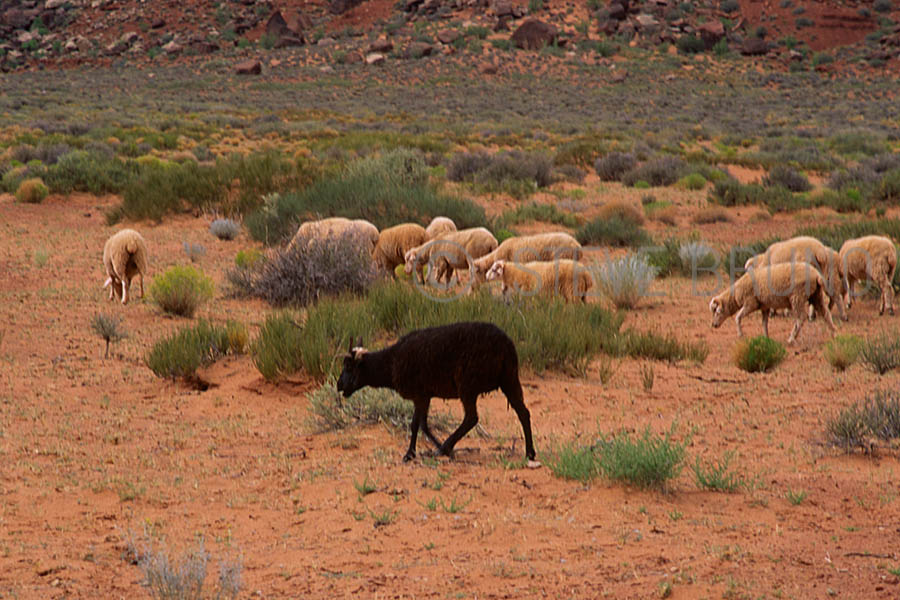 black sheep in a herd on Navajo Indian reservation by Steve Bruno
