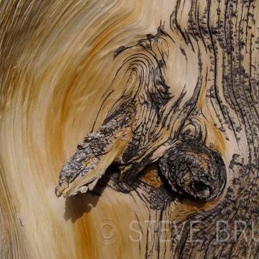 Bristlecone Pine Root Detail - Nevada - Steve Bruno