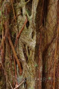 Entangled tree roots in Hawaii - Steve Bruno