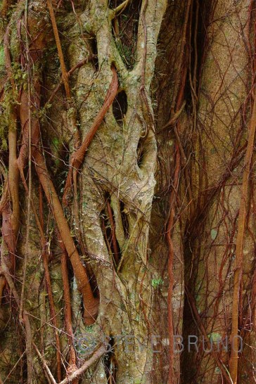 Entangled tree roots in Hawaii - Steve Bruno