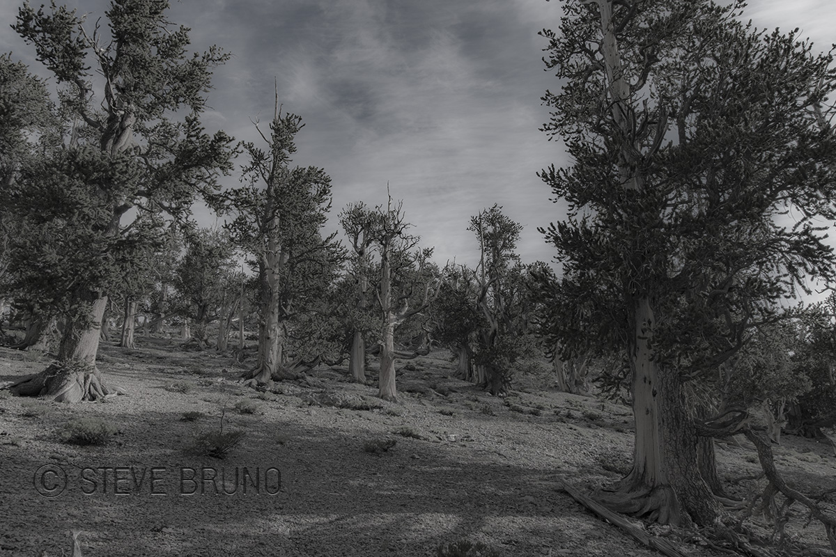 Bristlecone Pine forest, Mount Charleston, Nevada - Steve Bruno - gottatakemorepix
