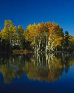 Aspen trees in autumn near Flagstaff, Arizona - Steve Bruno - gottatakemorepix