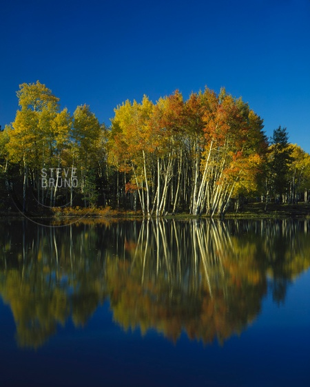 Aspen trees in autumn near Flagstaff, Arizona - Steve Bruno - gottatakemorepix