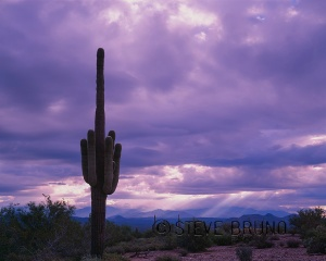 Saguaro Cactus, McDowell Mountain Park, Arizona