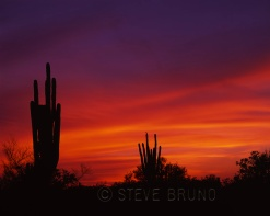 Two large saguaros at sunset, Arizona