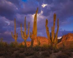 Group of older saguaro cacti at sunset, Arizona