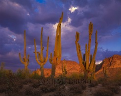 Group of older saguaro cacti at sunset, Arizona