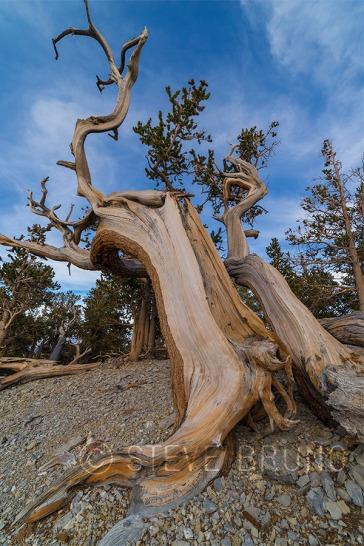 bristlecone pine nevada
