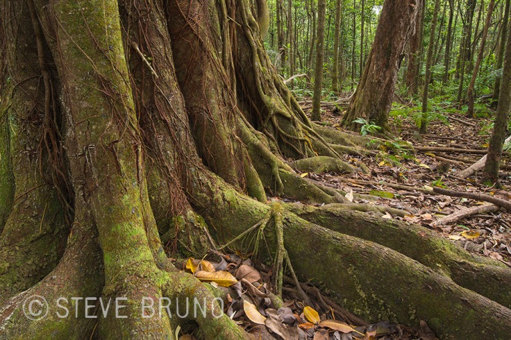 old growth forest, Hawaii, trees, gottatakemorepix