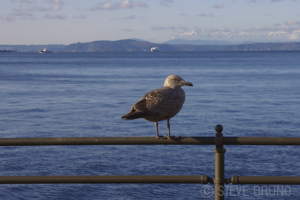 bird, gull, Seattle, Pacific Ocean, Steve Bruno