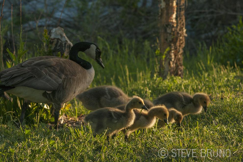 geese, Canada, gottatakemorepix