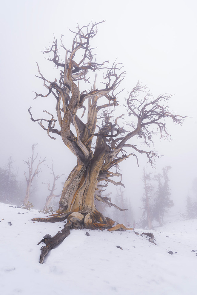 giant tree, fog, bristlecone pine, Spring Mountains, Las Vegas, Steve Bruno photography