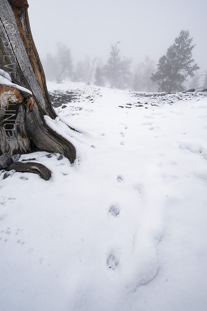 coyote tracks, snow, mountains, fog, Mount Charleston, Nevada
