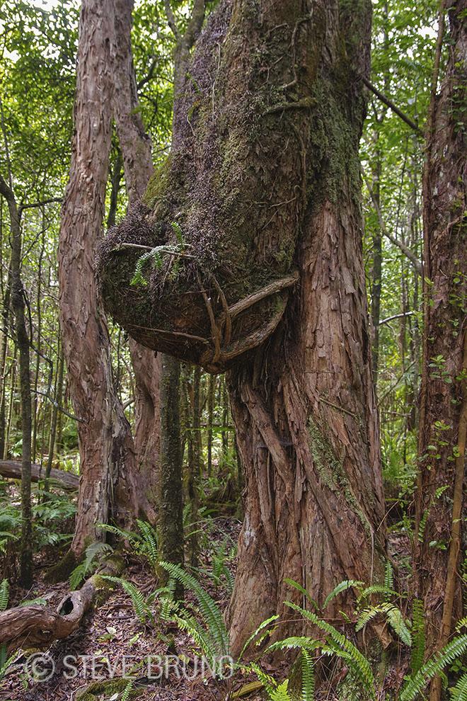 tree, rain forest, Hawaii, gottatakemorepix