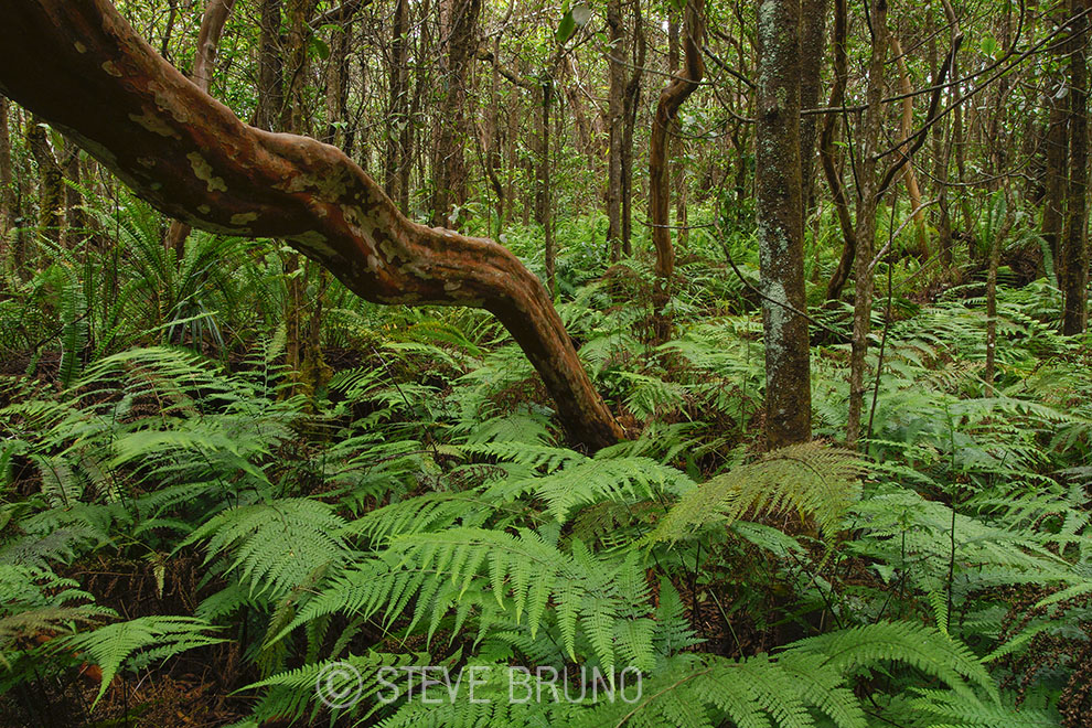 rain forest, Hawaii, branches, Steve Bruno photography