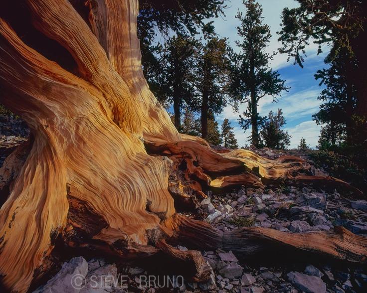 bristlecone pine, Mount Charleston, Nevada, gottatakemorepix