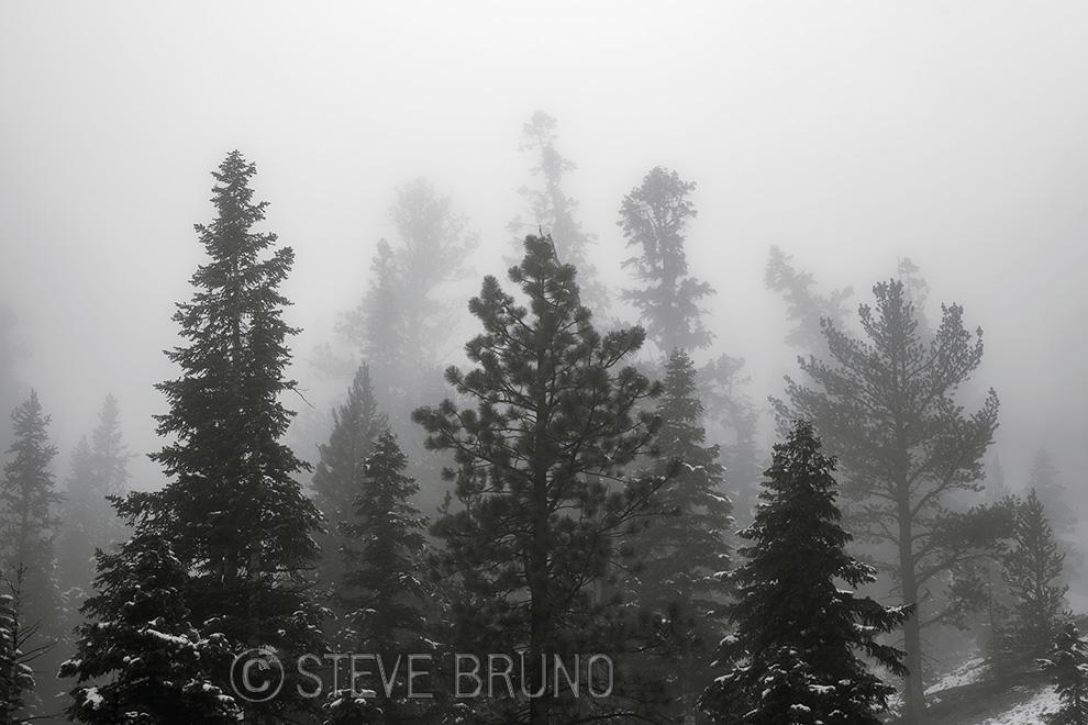 bristlecone pine, Spring Mountains, Las Vegas, Nevada, Steve Bruno