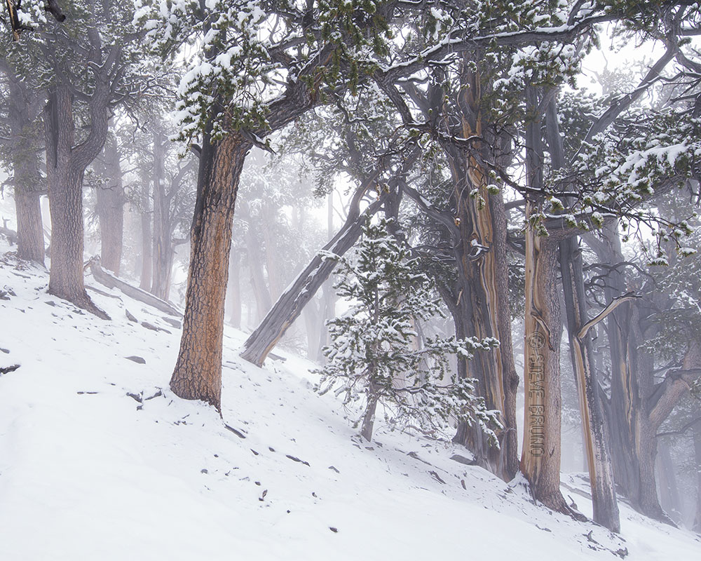 forest, Mount Charleston, Nevada, Steve Bruno