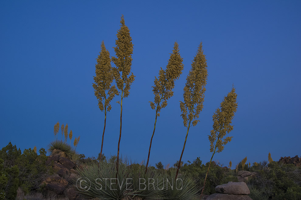yuccas, Arizona, blue hour, desert, Steve Bruno