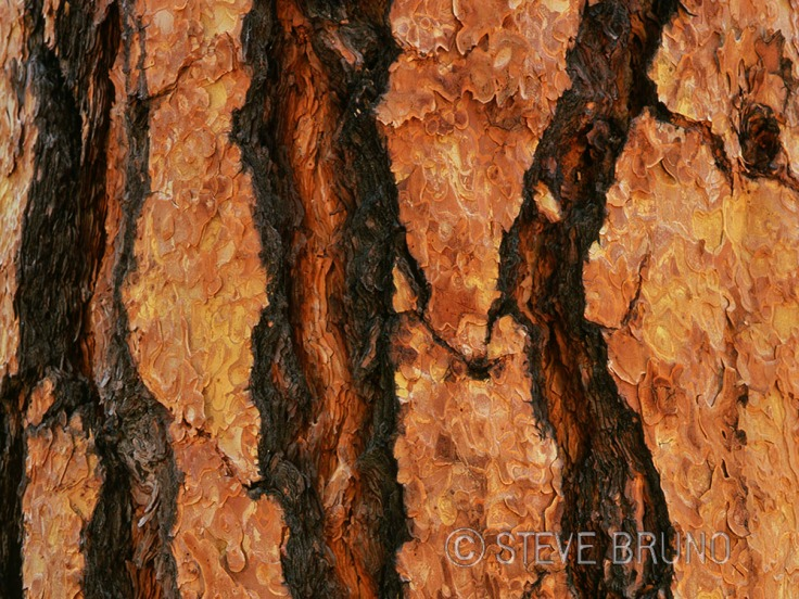 tree bark, ponderosa pine, forest