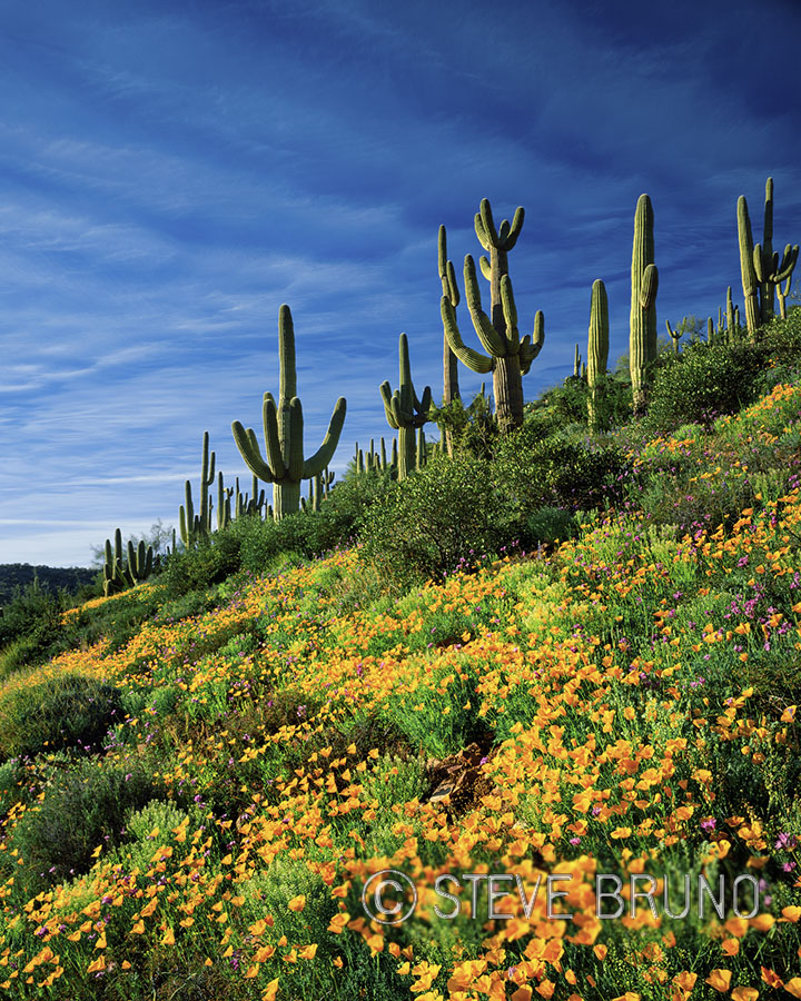 Saguaro, cactus, poppies, Arizona, desert, spring flowers, Steve Bruno