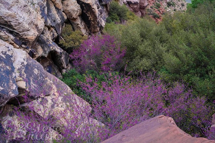 redbud, trees, flowers, red rock canyon, Nevada