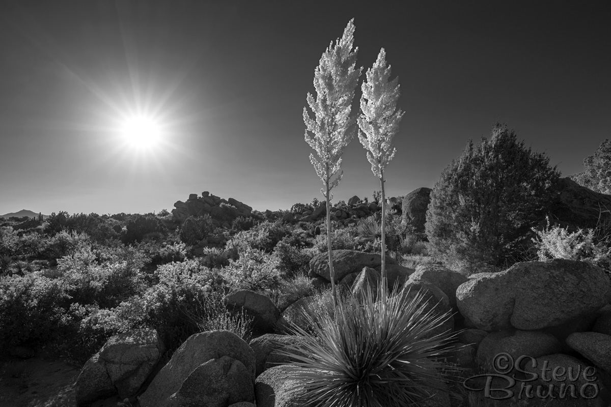 desert, flowers, Arizona, landscape photography, sunshine, Steve Bruno