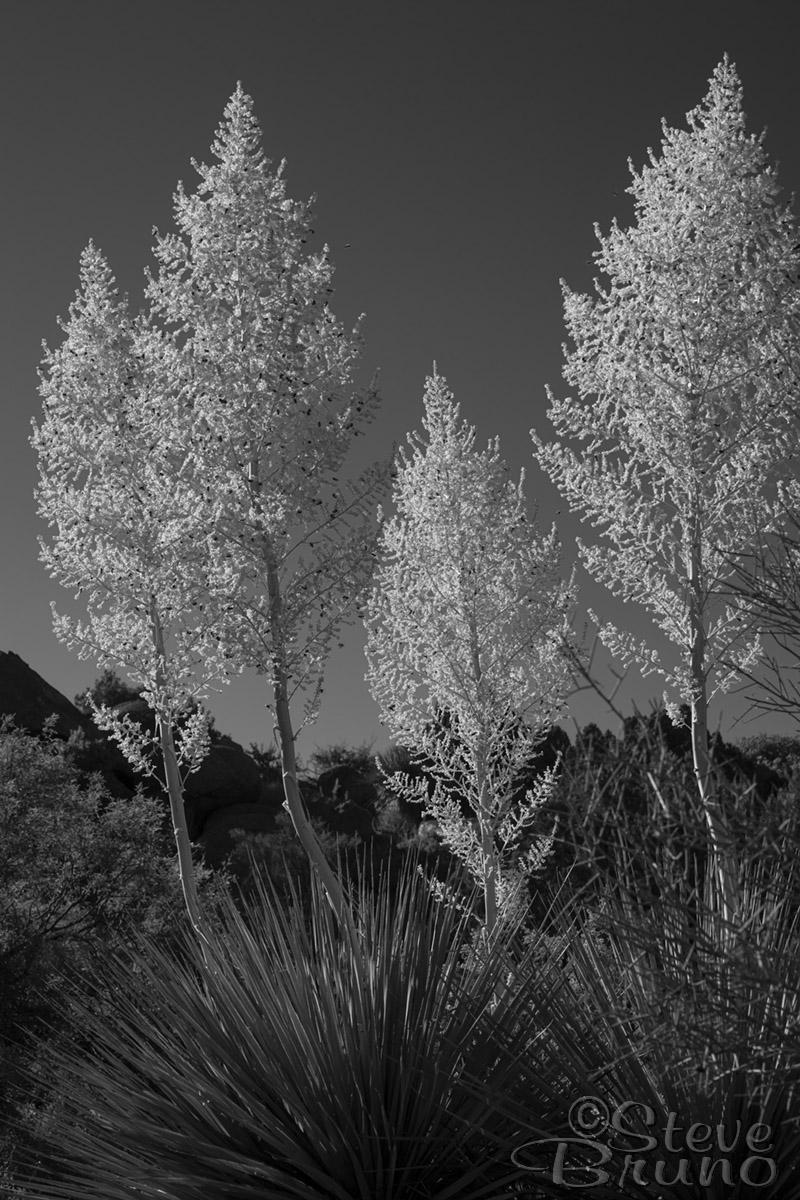 desert, yucca, Arizona, flowers