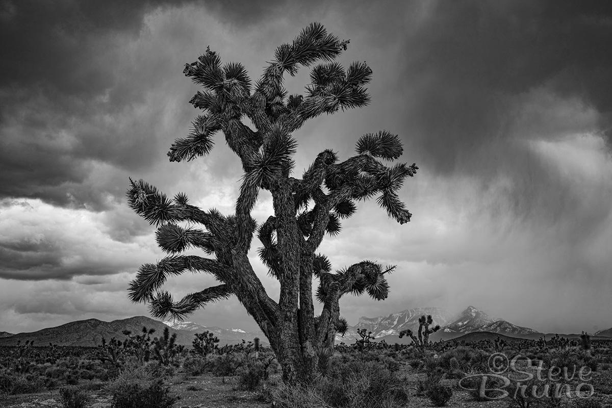 joshua tree, mojave desert, black & white, Steve Bruno