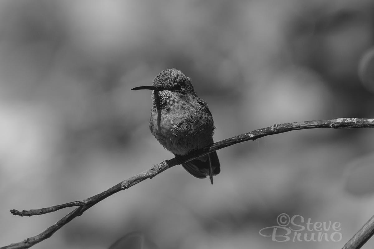 hummingbird, desert, Nevada, Steve Bruno