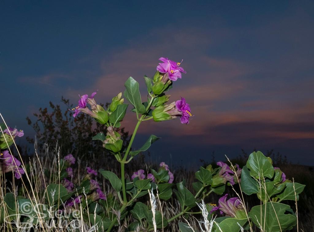 flowers, sunset, desert