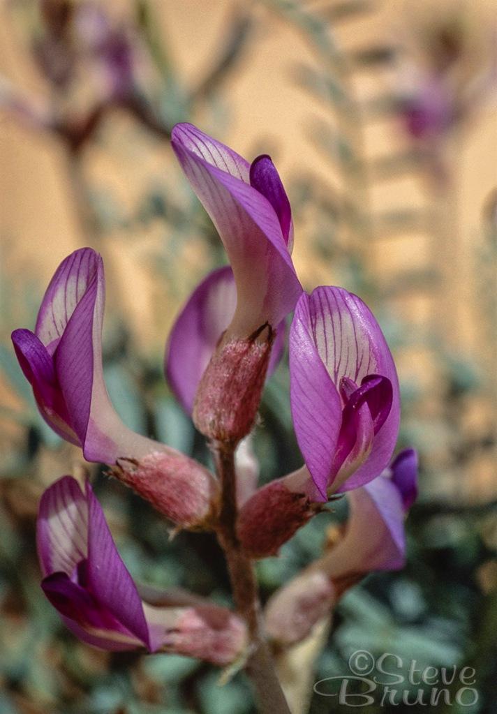 flowers, macro, desert, Steve Bruno