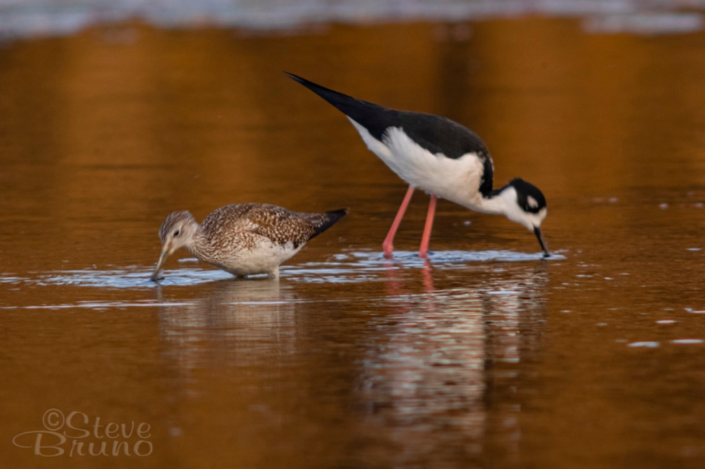 common snipe, black-necked Stilt, Salt River, Arizona