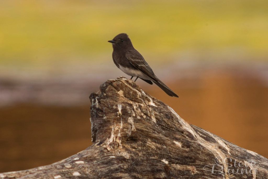 birds, Arizona, black phoebe