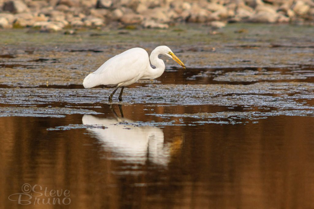 birds, egret, Salt River, Arizona