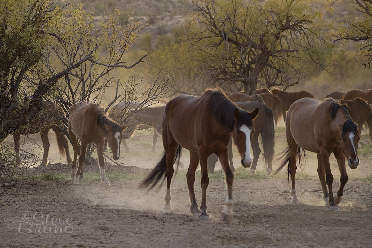 horses, Arizona, Salt River